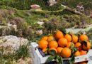 Agricoltura, inizia sotto i buoni auspici la campagna agrumicola 2018/19 per l'Arancia di Ribera Dop