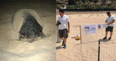 Tartaruga Caretta caretta depone uova a Siculiana Marina, nido recintato dal Wwf
